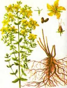 millepertuis-plante